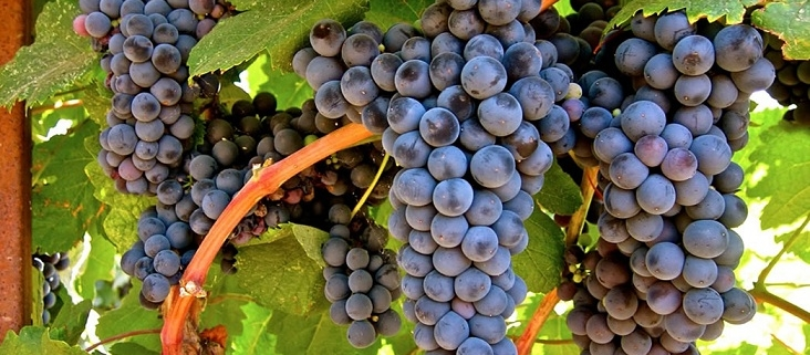 Petit Verdot - Brix & Columns Vineyard